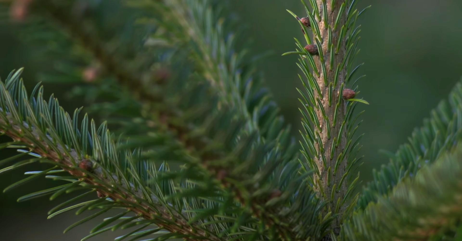 De mooiste Nordmann Excellent kerstbomen in Uithoorn vanaf € 15,-