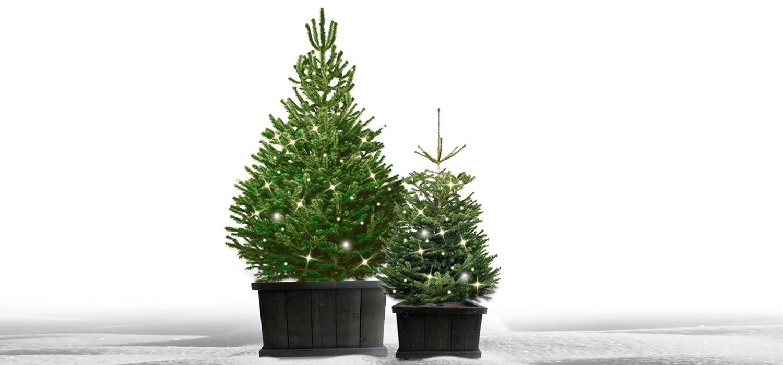 Nordmann kerstboom in kist met verlichting voor buiten bestellen in Uithoorn